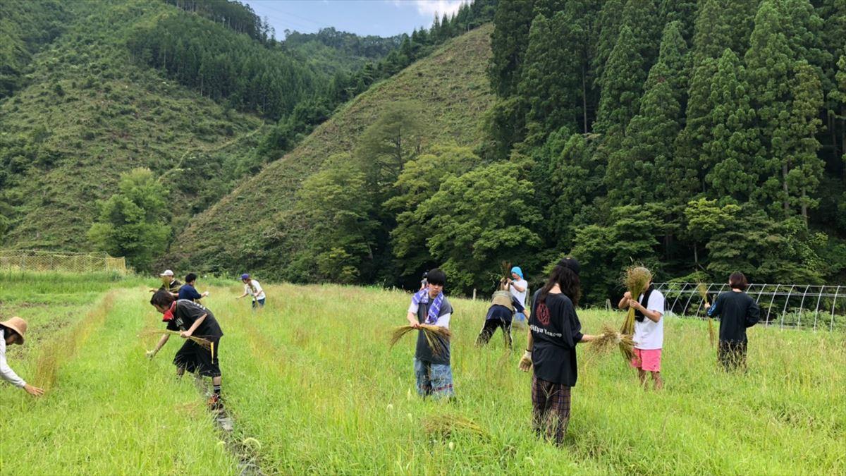 リネン収穫風景2