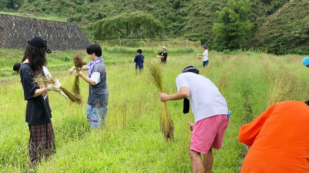 リネン収穫風景